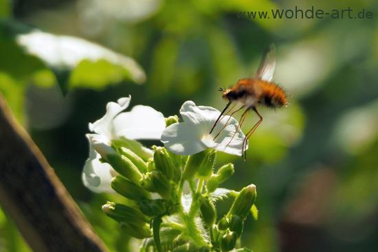 Wollschweber an Blüte