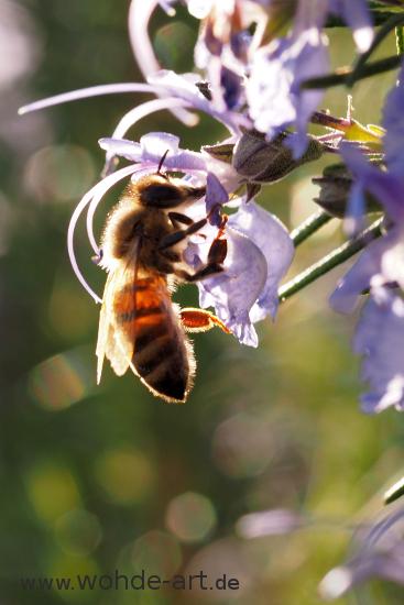 Biene auf Rosmarinblüte