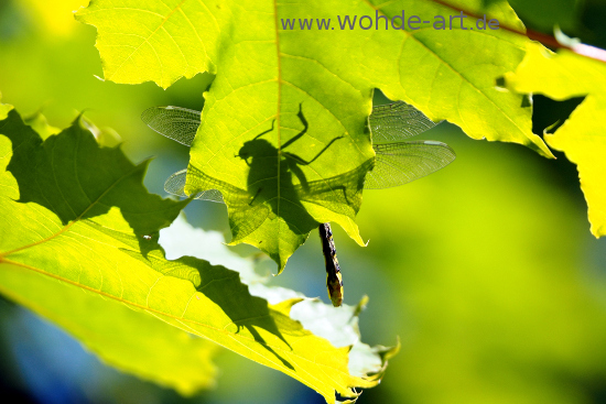 Libelle mit Schatten auf Ahornblatt