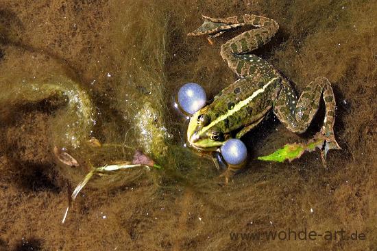 Frosch mit Schallblasen im Tümpel