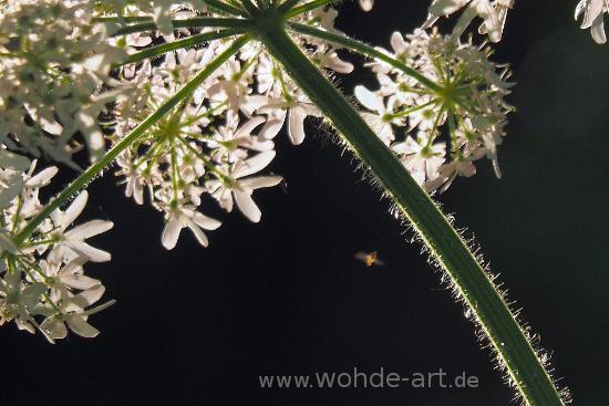 Eintagsfliege fliegt um Blüte