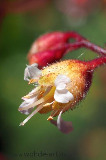 Blüte des Garten-Silberglöckchens