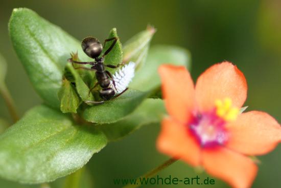 Ameise mit Blüte