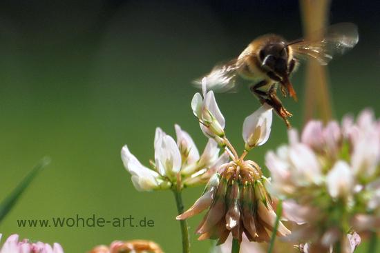 Biene umfliegt Kleeblüte