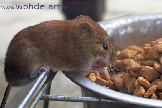 Maus stibitzt Katzenfutter
