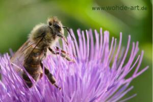 Biene auf Mariendistelblüte