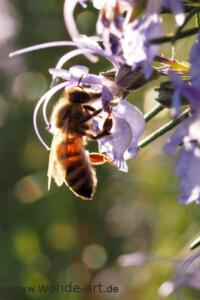 Biene im Rosmarin