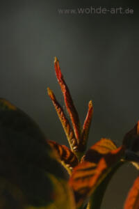 junge Walnussblätter