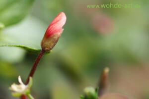 Blütenknospe
